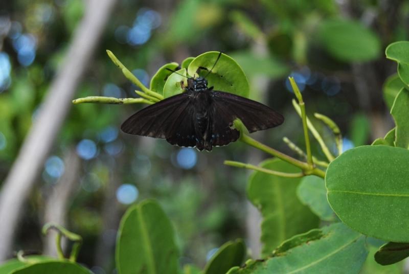 mangrove skipper