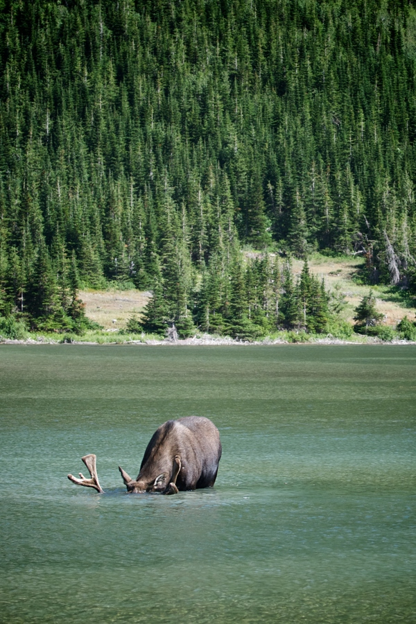Bull moose eating from bottom of Red Rock Lake