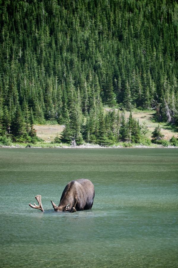 Bull moose eating from bottom of Red Rock Lake