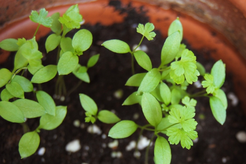 130829 Baby parsley leaves. « What. No Mints?